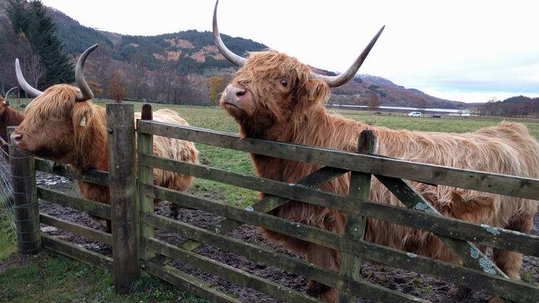Scotland Cows